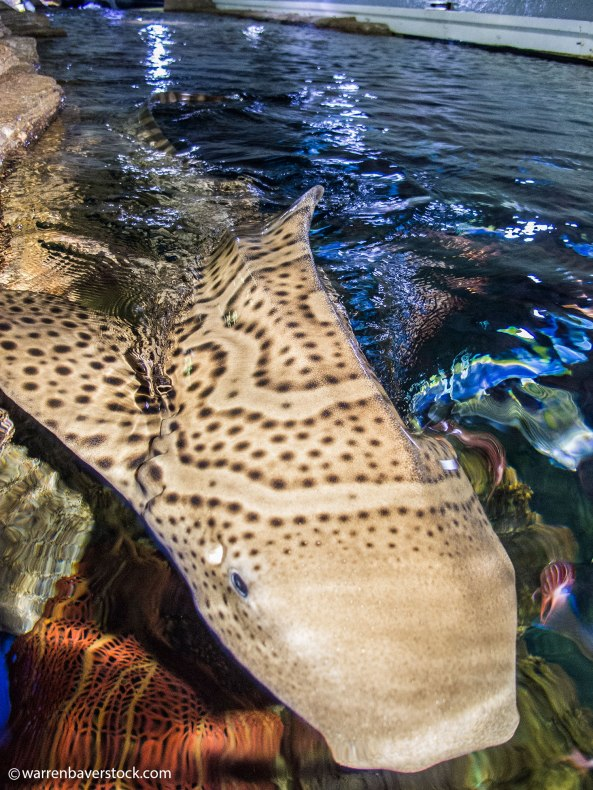 Parthenogenic zebra shark pup