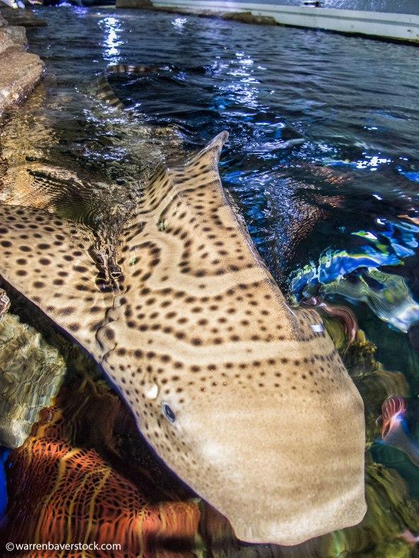 Parthenogenic zebra shark pup
